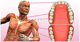 Dentist Mesa - Dental Meridian Tooth Chart